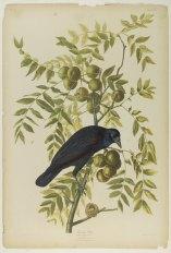 Brooklyn_Museum_-_American_Crow_-_John_J._Audubon