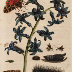 Garden_Tiger_Moth_Maria_Sibylla_Merian