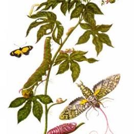 Merian_insectes_Surinam
